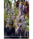 Wisteria sinensis 'Cooke's Special' STD