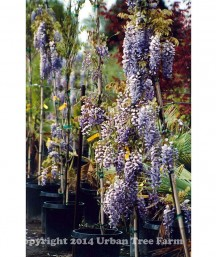 Wisteria s. Cooke's Special Trellis