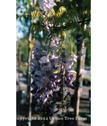 Wisteria sinensis 'Blue'
