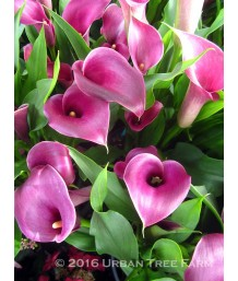 Zantedeschia x 'Grape Velvet'
