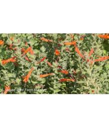 Zauschneria californica/cana 'Everett's Choice'