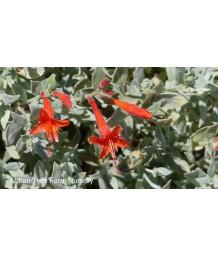 Zauschneria septentrionalis 'Waynes Silver'