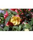 Abutilon hybridum 'Apricot'