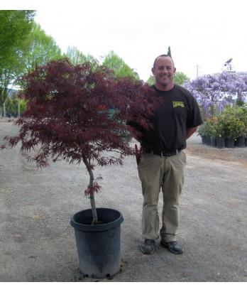 Japanese Maples Acer P Red Dragon Urban Tree Farm Nursery