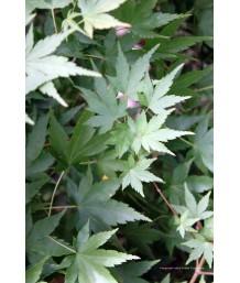 Acer palmatum STD