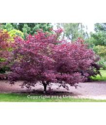 Acer palmatum 'Fire Glow'