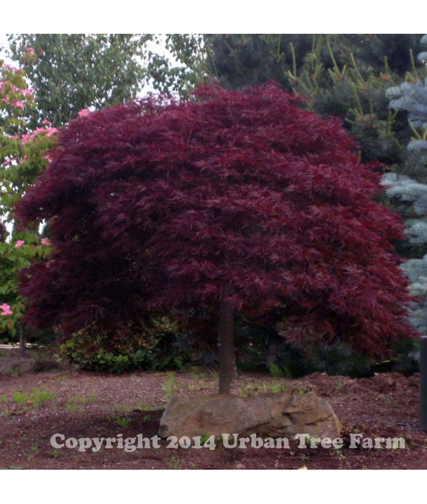 Red Dragon Maple Red Dragon | Urban Tree Farm