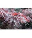 Acer palmatum 'Red Dragon'