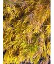 Acer palmatum 'Viridis'
