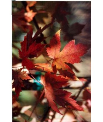 Acer freemanii 'Autumn Fantasy'