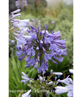Agapanthus africanus 'Blue'