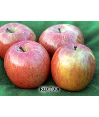Fruit Apple Fuji RED