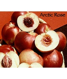 Fruit Nectarine Arctic Rose