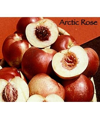 Fruit Nectarine Arctic Rose