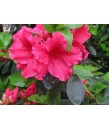 Azalea Red Bird