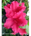 Azalea 'Red Bird'