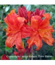 Azalea, Exbury Hybrid RED/ORANGE