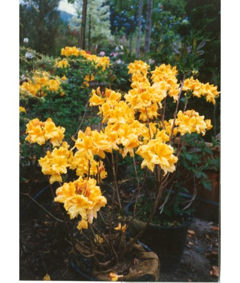 Azalea, Exbury Hybrid 'Gold'