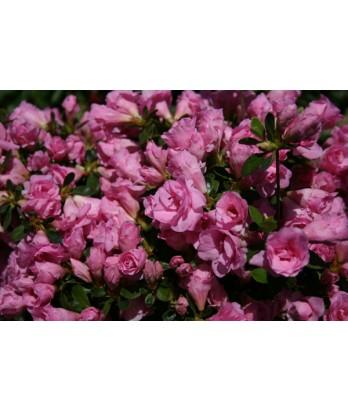 Azalea 'Rosebud'