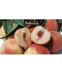 Fruit Peach Babcock