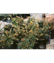 Berberis gladw. William Penn