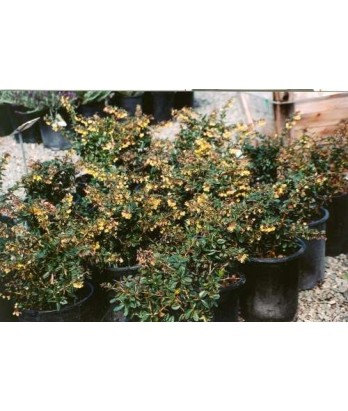 Berberis gladwynensis 'William Penn'