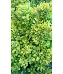 Berberis thunbergii 'Golden Nugget'
