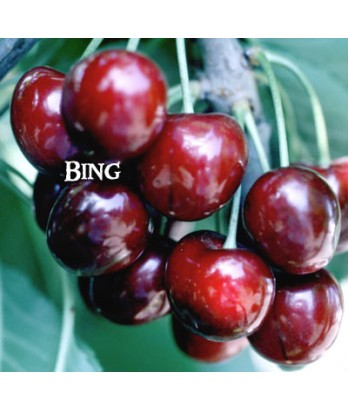 Fruit Cherry Bing