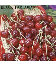 Fruit Cherry Black Tartarian
