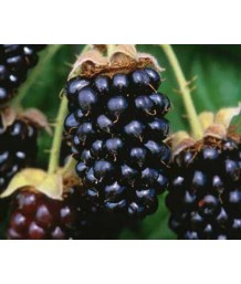 Fruit Blackberry Marion