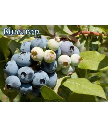 Fruit Blueberry Bluecrop