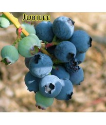 Fruit Blueberry Jubilee