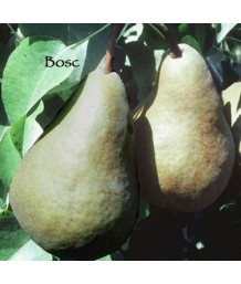Fruit Pear Bosc