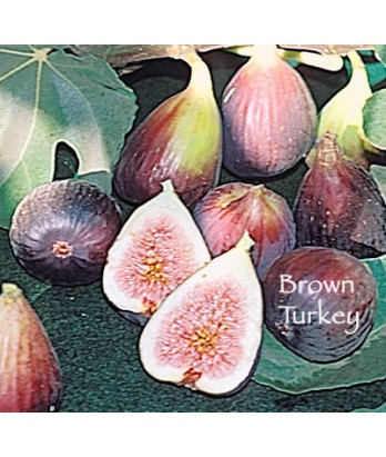 Fruit Fig Brown Turkey