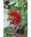 Callistemon v. Little John