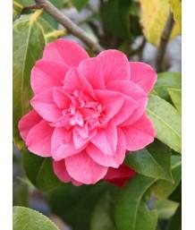Camellia j. Kumasaka