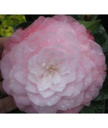 Camellia j. Nuccio's PEARL TRELLIS