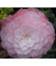 Camellia japonica 'Nuccio's PEARL' STD