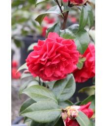 Camellia japonica 'Tom Knudsen' STD