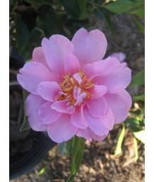 Camellia s. Showa-no-Sakae