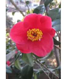 Camellia j. Tama-no-ura