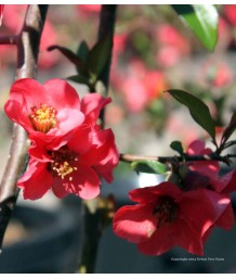 Chaenomeles 'Red'