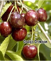 Fruit Cherry Craig's Crimson