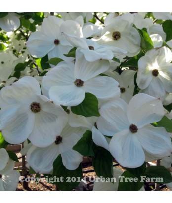 Cornus 'Eddie's White Wonder'