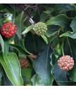 Cornus k. chinensis