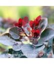 Cotinus coggygria 'Royal Purple'