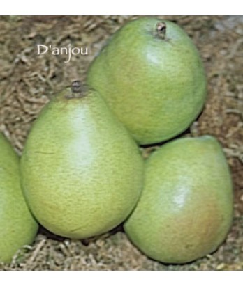 Fruit Pear D'Anjou
