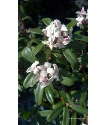 Daphne trans. Eternal Fragrance
