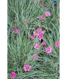 Dianthus gratianopolitanus 'Pixie'