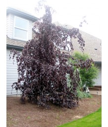 Fagus s. Purple Fountain
